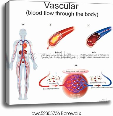 Printable Muscle Diagram Vascular Blood Flow Through the Body Canvas Print