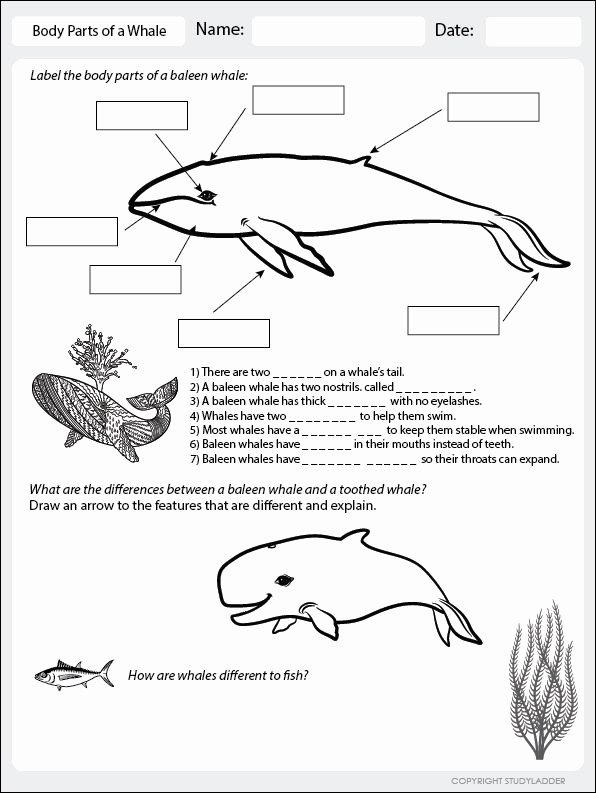 Rainbow Fish Printable Worksheets Beautiful Body Parts Of A Whale Worksheet to