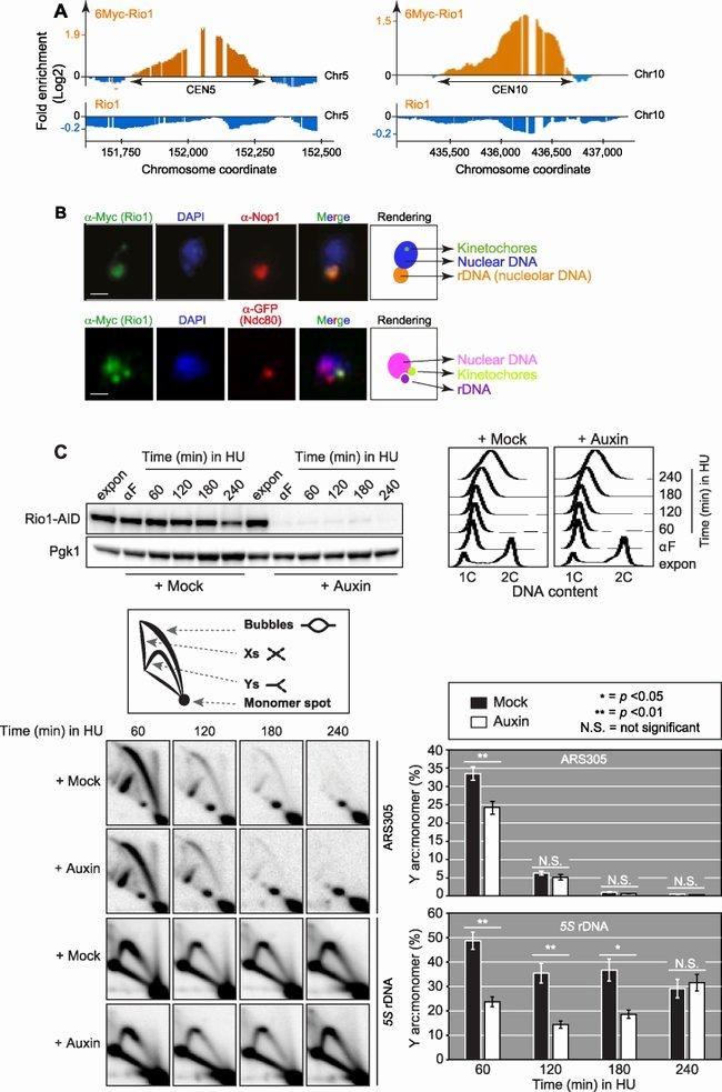 Reading Positive and Negative Coordinates Pgk1 Antibody