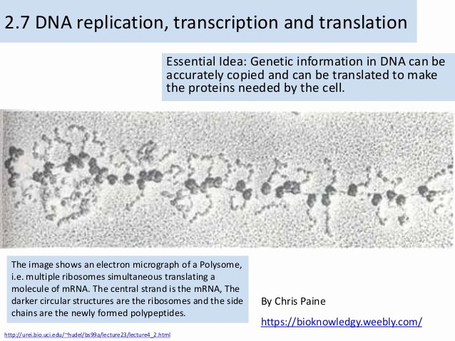 Skills Worksheet Dna Structure Bioknowledgy 2 7 Dna Replication Transcription and Translation