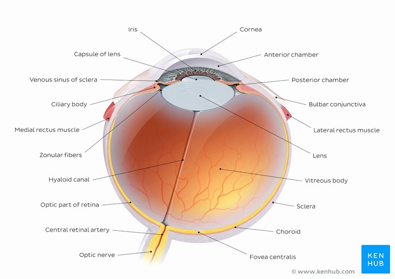 Unlabeled Muscle Diagram Worksheet Anatomy Of the Eye Quizzes and Diagrams
