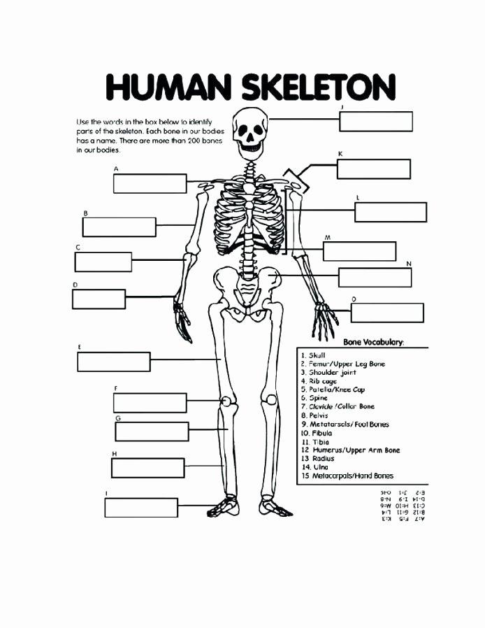 Unlabeled Muscle Diagram Worksheet Blank Skull Diagram to Label – Cashewapp