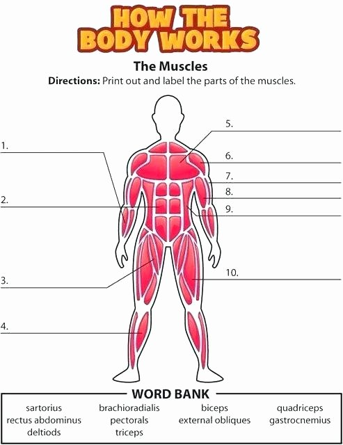 Unlabeled Muscle Diagram Worksheet Human Muscle Fill In the Blank Worksheets Worksheets Work