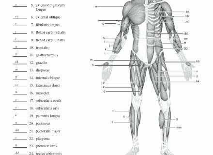 Unlabeled Muscle Diagram Worksheet Muscle Fill In the Blank Worksheets Human Anatomy Labeling