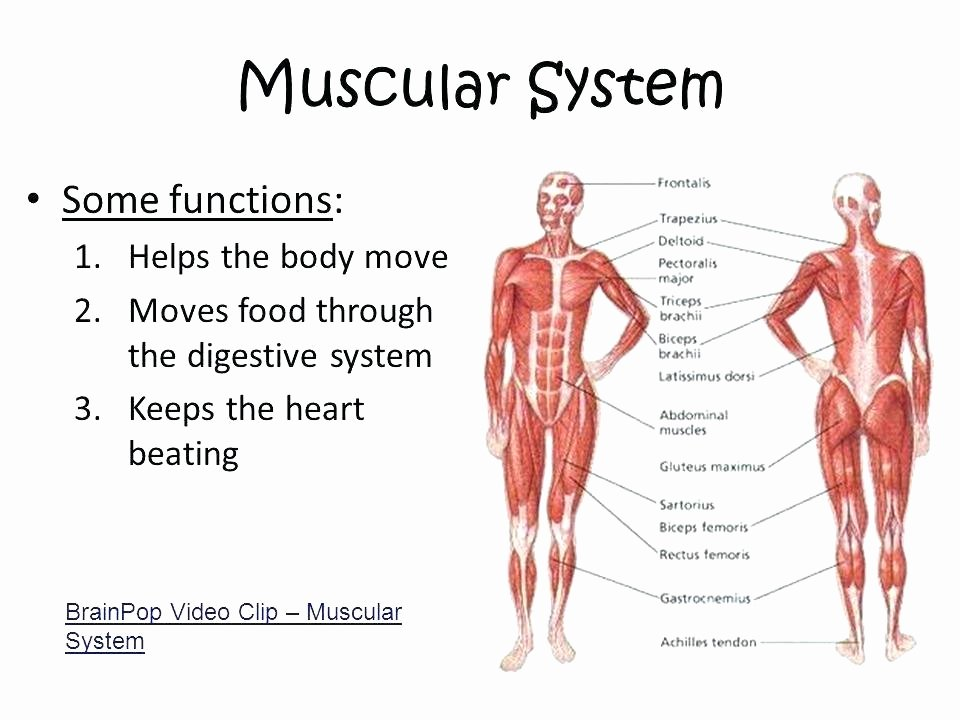Unlabeled Muscle Diagram Worksheet Muscular System Worksheets 3rd Grade Brain Pop Video Human