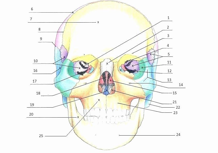 Unlabeled Muscle Diagram Worksheet Printable Anatomy Labeling Worksheets