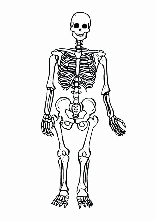 Unlabeled Muscle Diagram Worksheet Skeletal System Coloring Lower Leg Muscle Diagram Blank