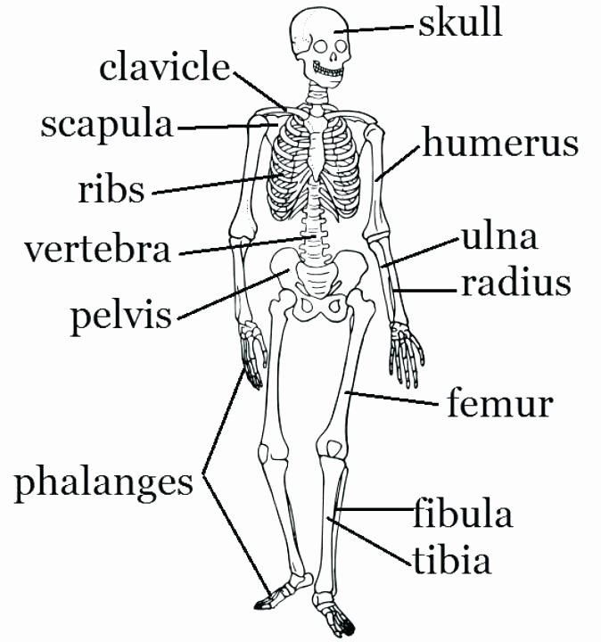 skeletal system printable worksheets simple bone diagram co grade blank worksheet life science ideas skeleton fill in the bo