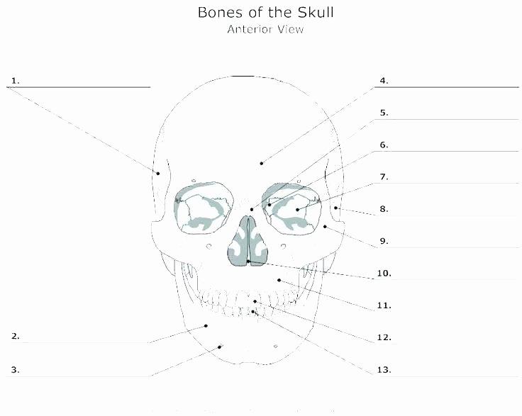 Unlabeled Muscle Diagram Worksheet Skull Diagram Blank